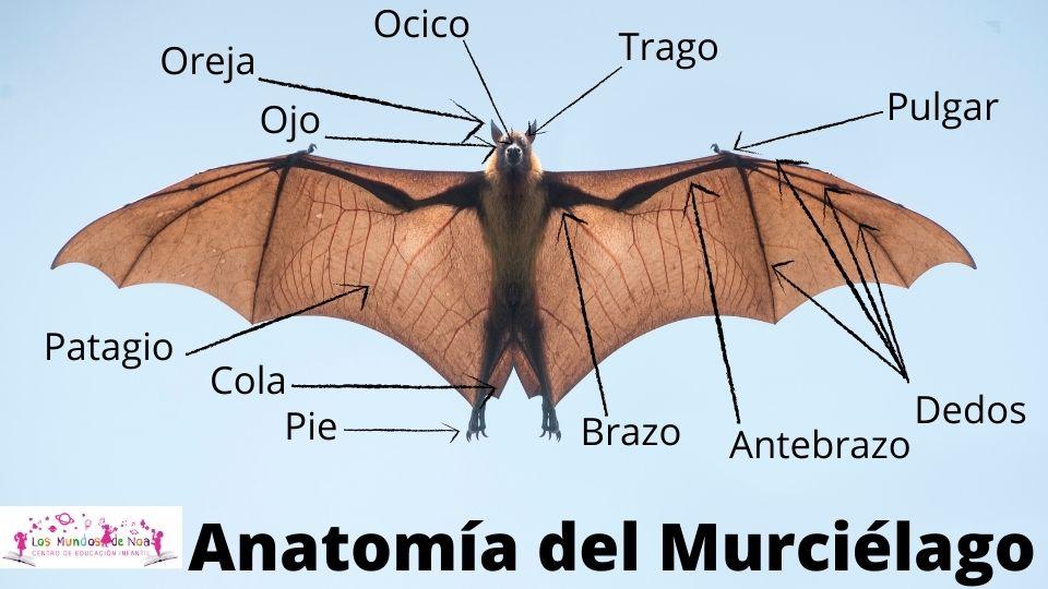 partes del cuerpo del murciélago