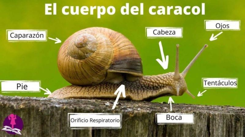 anatomía del caracol